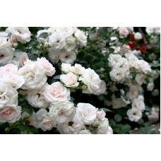Aspirin Rose ( (Аспирин Роз) - 1997 г., флорибунда (горшок 2 литра)