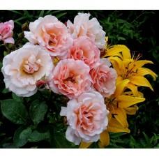 Compassion (Компэшн) - 1972 г., плетистые розы  (горшок 4 литра)