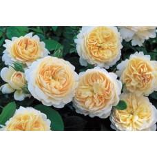 Crocus Rose (Crocus Rose) - 2000 г.