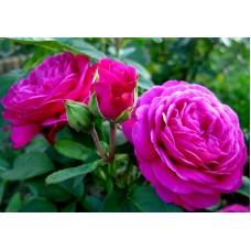 Heidi Klum Rose (Хайди Клум Розе) - 1999 г.